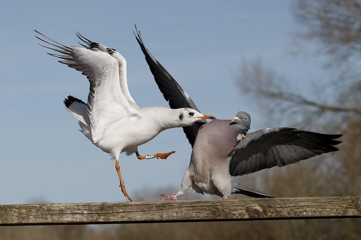 čajka a holub