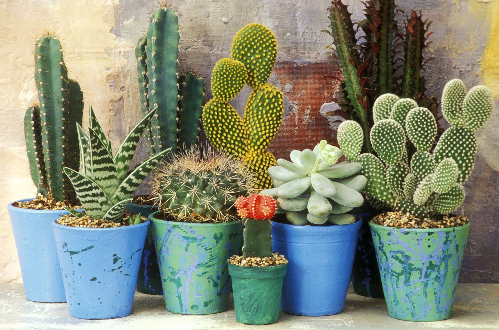 Uschnuté tujky kaktus